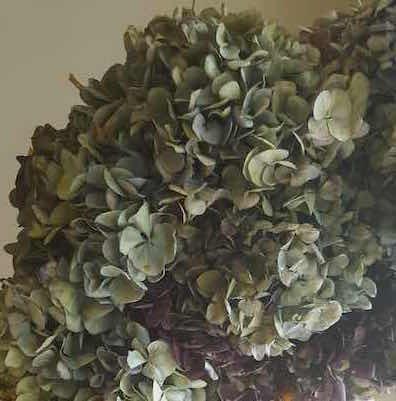 Hydrangeas_dried